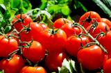 Gratis Open-Source Tomatensamen bestellen